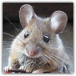 Повадилась мышка сыр из мышеловки...