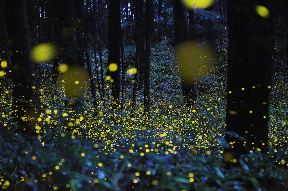 Светлячки Цунеаки Хирамацу   www.o...