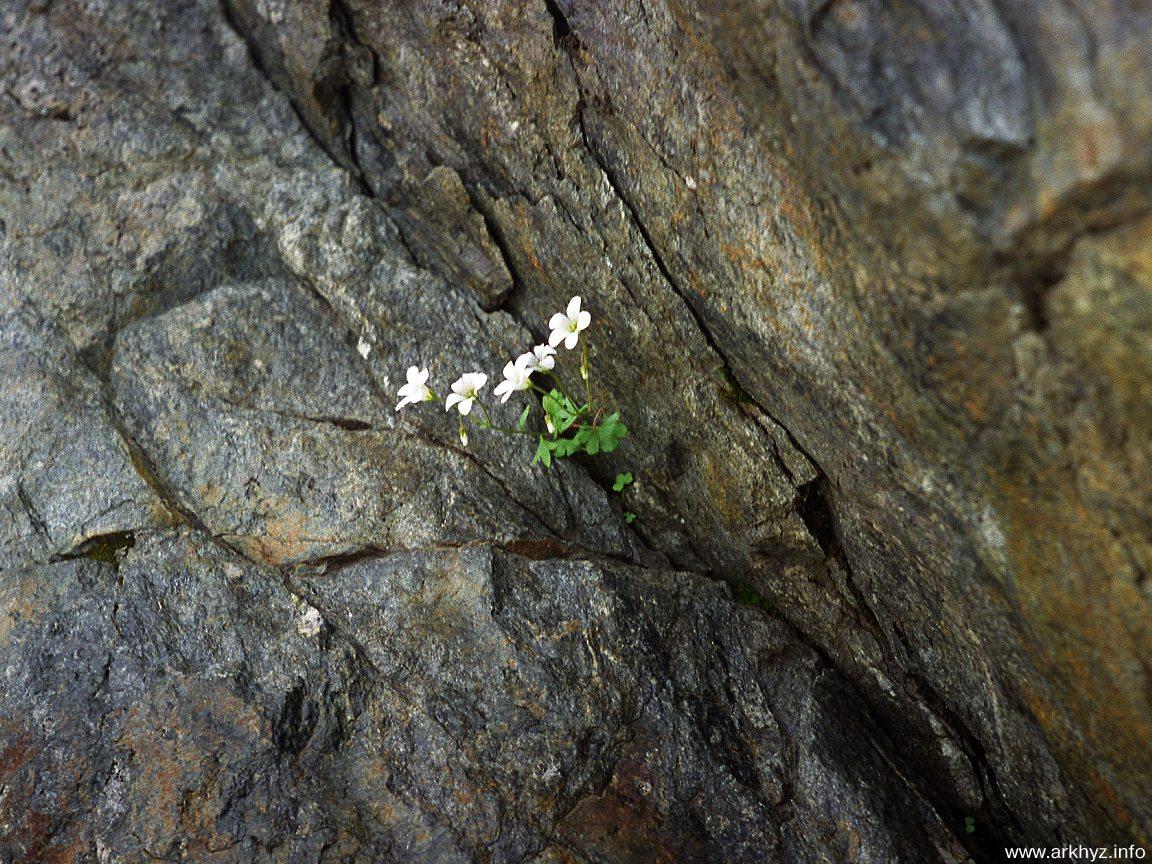Мой жизненный идеал-цветочек под названием КАМНЕЛОМКА)))