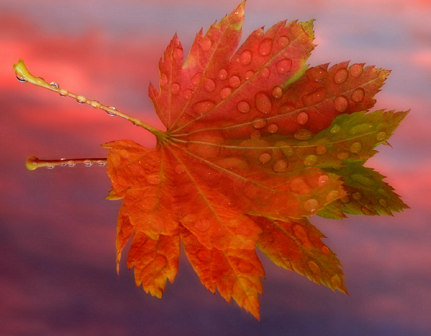 Кленовый лист, кленовый лист,  Ты...