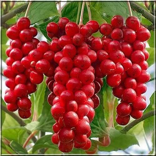 Плодово-ягодные культуры с ЗКС на...