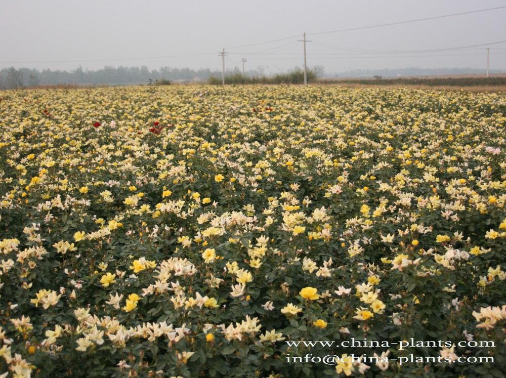 Растение классическая китайская ро...