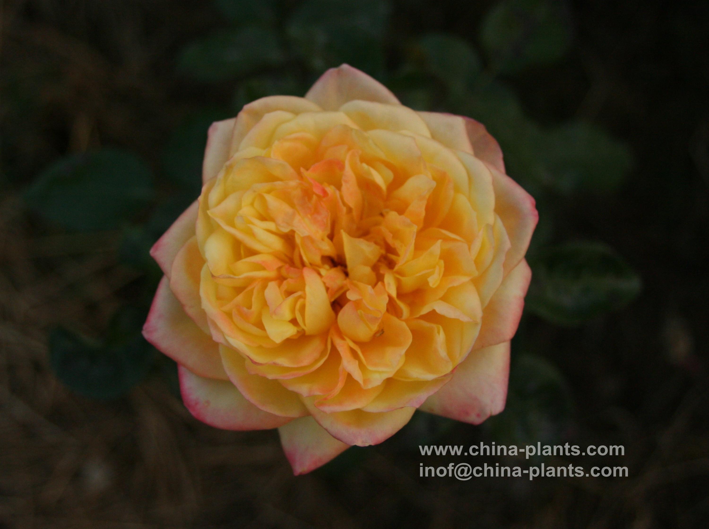Китайские восхождение розовые куст...