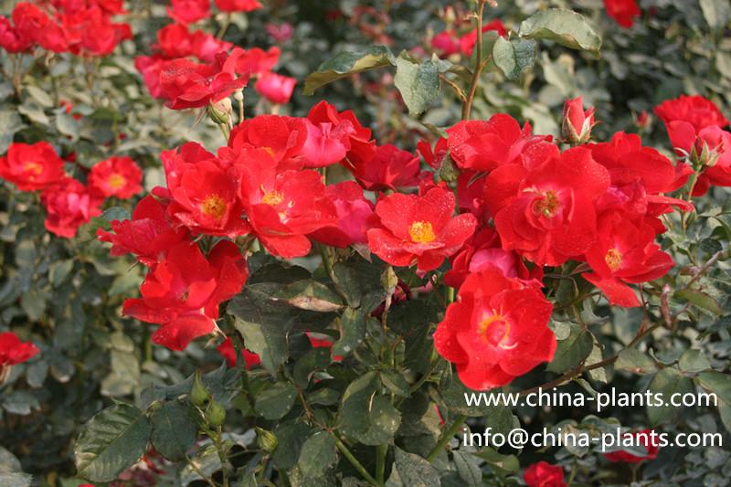 Китайский роза является известным...
