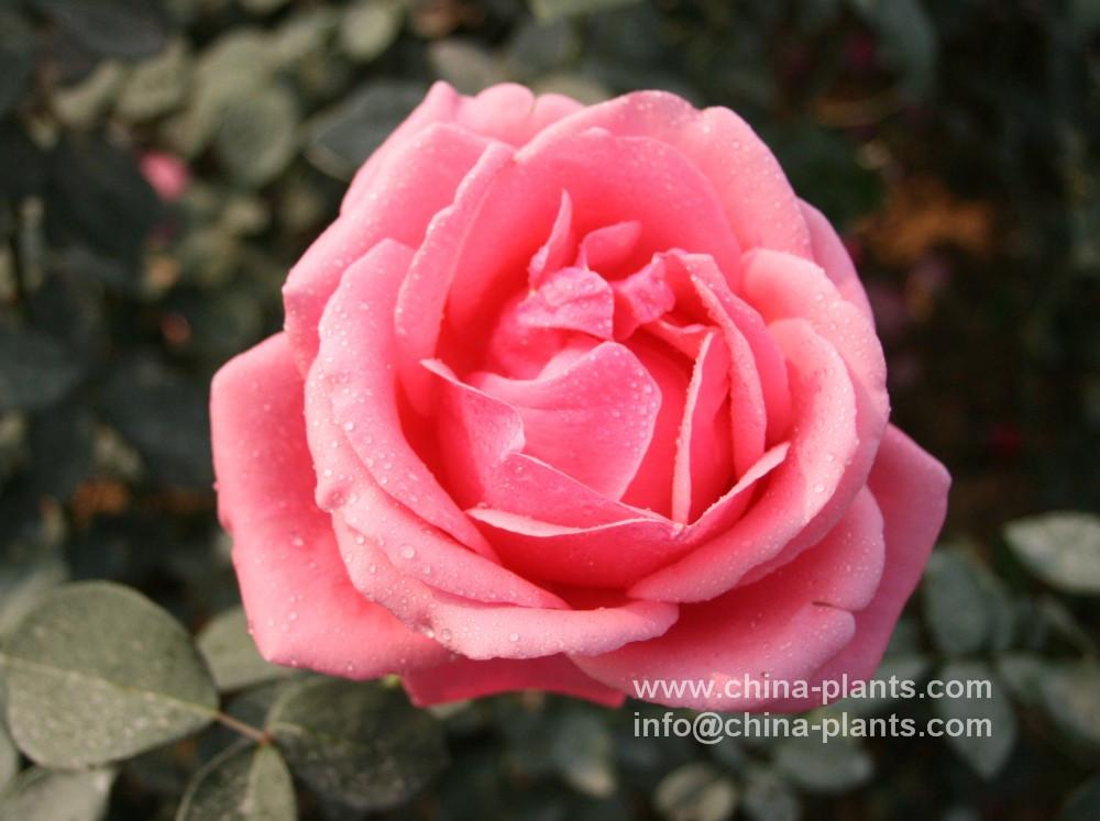 Поставщик Китайского розы  Китайск...