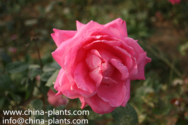 Китайский поставщик саженцы розы...
