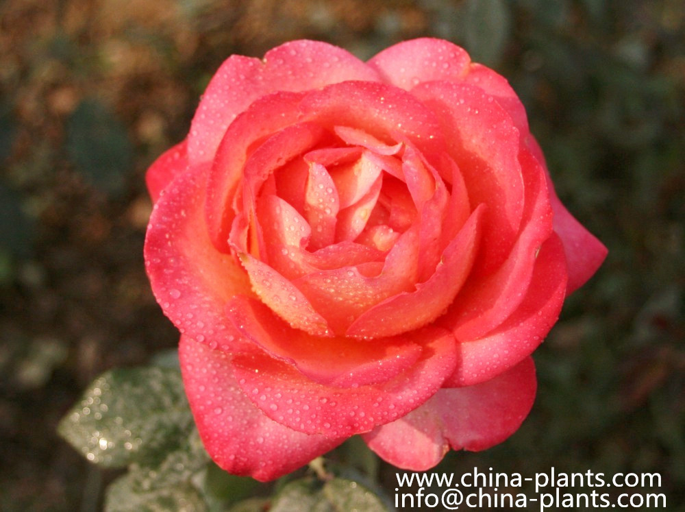 Купить китайские розы из Китая   К...