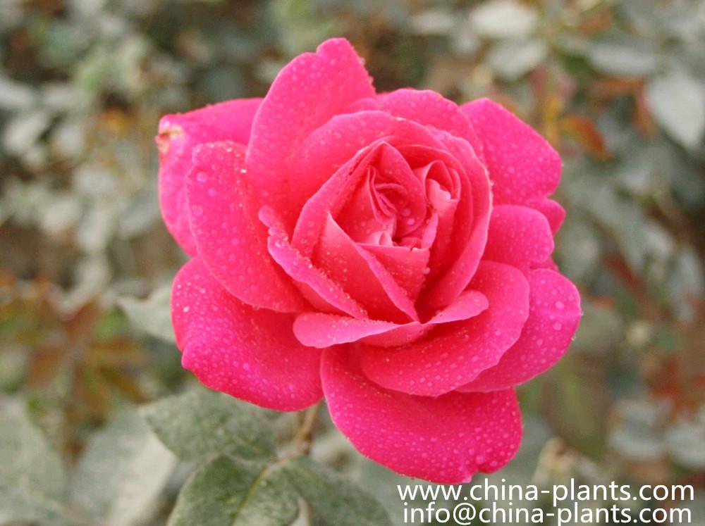 Почему не выбрать розы чайные?   Р...