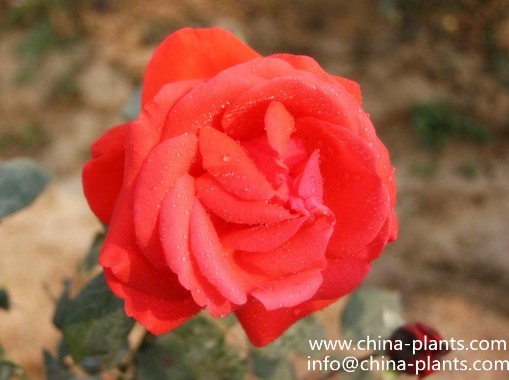 Где можно оптом качественные розы...