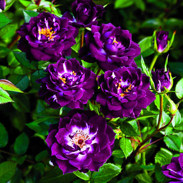 Розы Викс из американского питомни...