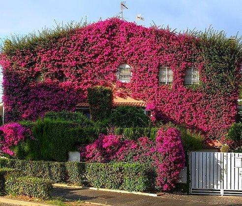 Дом, заросший бугенвиллией