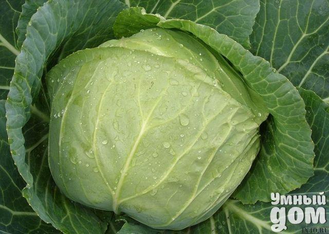 Секреты выращивания кочанов белокочанной капусты весом 15-20 килограммов