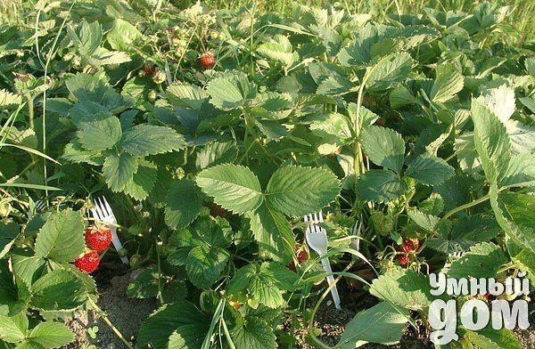 Все гениальное - просто! Пластмассовые вилки для выращивания земляники