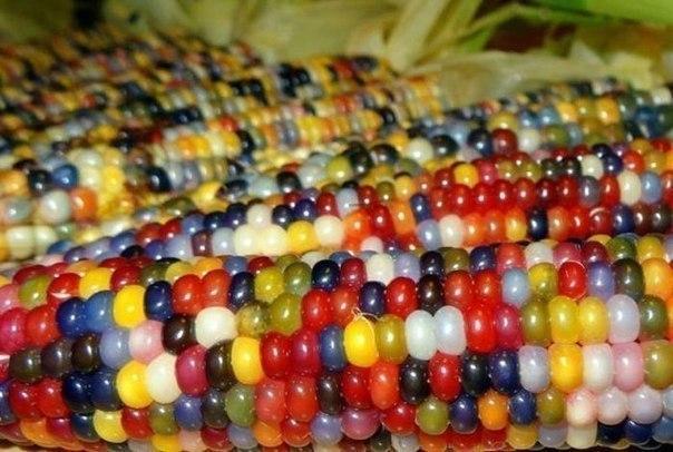 Этот сорт кукурузы называется - стеклянные жемчужины (Class Gem)