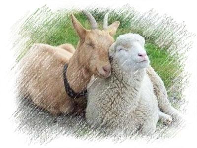 Новый 2015 год - год Козы или Овцы?
