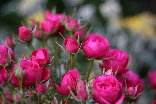 Миниатюрные розы. Особенности выращивания