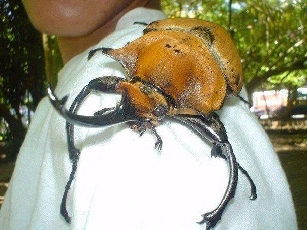 Жук-носорог из Коста-Рики