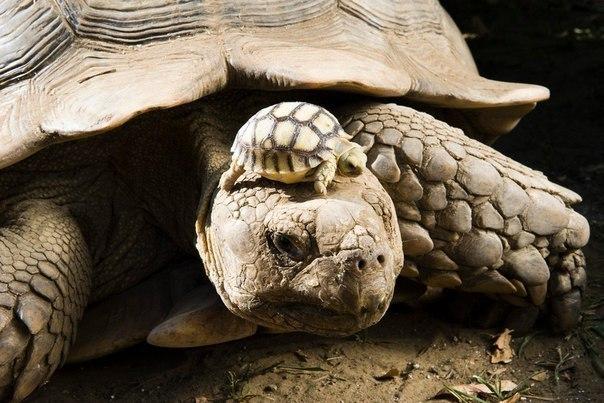 140-летняя мама-черепаха с 5-дневным черепашонком.