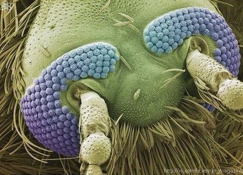 Комар (увеличение 160 раз)