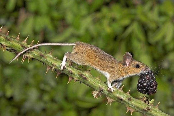 Лесная мышь с ягодой ежевики.