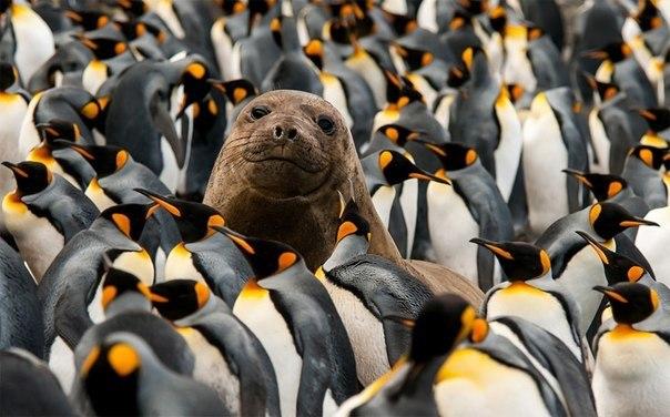 Фотограф из Германии запечатлел тюленя среди королевских пингвинов.