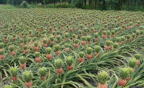 Где растут ананасы.