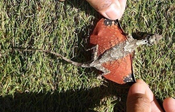 Учёные Индонезии обнаружили существо, выглядящее, как маленький, крошечный дракон