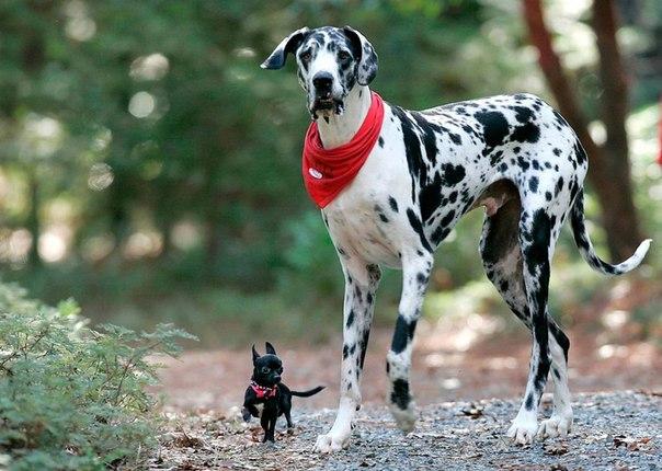Датский дог Гибсон был самой высокой в мире собакой