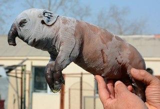 В Китае родился поросенок-мутант с хоботом как у слона!