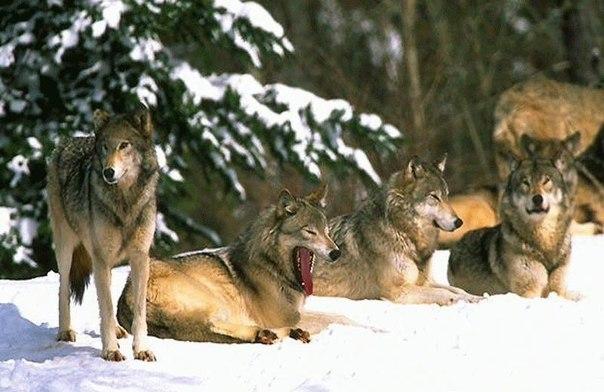 Когда в 1995 году четырнадцать волков были выпущены на волю в Йеллоустонском национальном парке, ученые и не подозревали, что это кардинально изменит всю экосистему парка