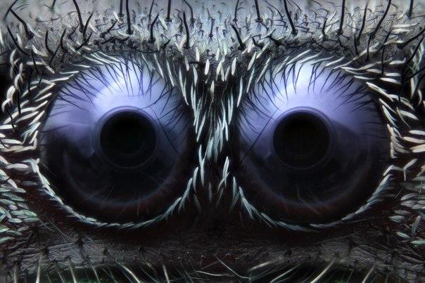 Фото, занявшее третье место на конкурсе Nikon Small World Photomicrography Competition глаза Паука-скакуна