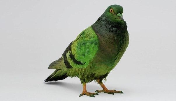 Французский город Сюрен однажды сильно пострадал от голубей