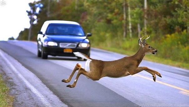 Лоси и олени нередко становятся жертвами автомобилей, особенно в зимнее ночное время, когда из-за скользкой дороги водитель не успевает затормозить перед вышедшим из леса животным