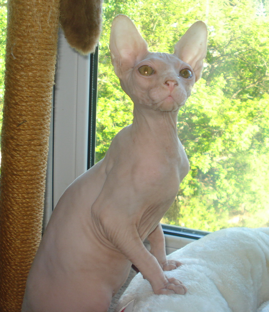 Ваша кошка сфинкс, ЕСЛИ