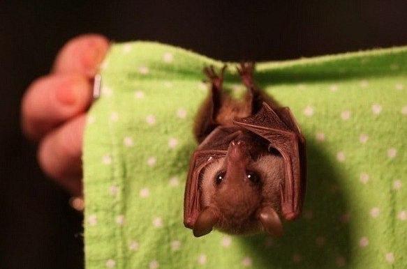 Новорожденная летучая мышь.