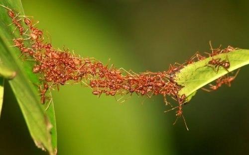 Момент перехода муравьев с одного листа на другой с помощью постройки живого моста из своих же тел