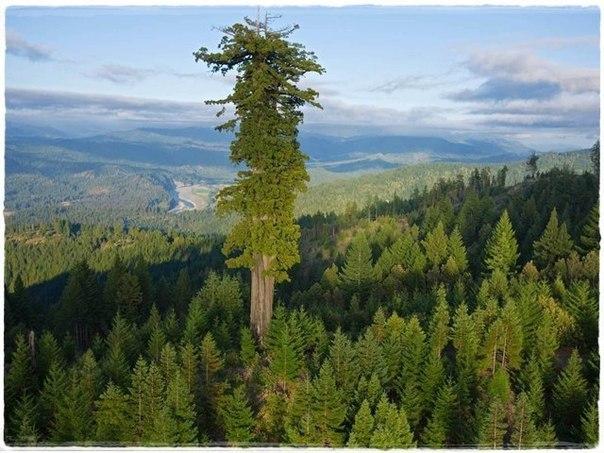 Самое высокое на Земле дерево секвойя Гиперион