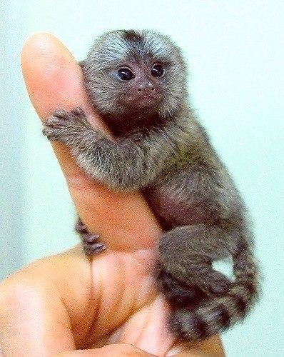 Мармозетка - самая маленькая в мире обезьянка