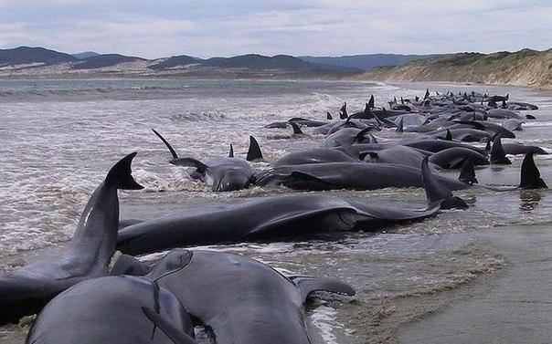 200 дельфинов выбросились на берег в Новой Зеландии.