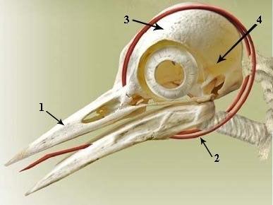 Язык дятла обвивается вокруг его черепа.