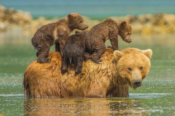 Медведица и трое медвежат освежаются в летний зной.