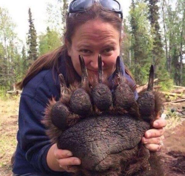 Лапа медведя гризли