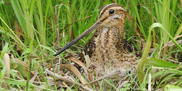 Птица бекас имеет отличную камуфляжную окраску для болотистой местности, а небольшие размеры и особенный стиль полёта делают её очень трудной мишенью для охотников