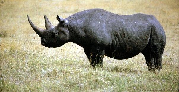 Чёрные и белые носороги получили такие названия неоправданно все они могут быть и тёмно-серыми, и светло-серыми, и