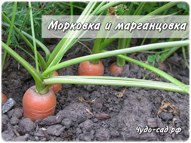 Морковка и марганцовка