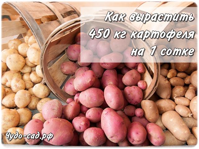 Как собрать 450 кг картофеля с 1 сотки