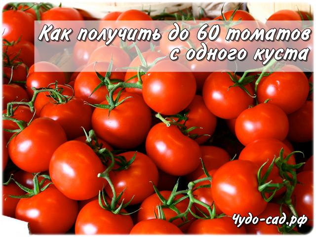 60 томатов с одного куста? Это реально