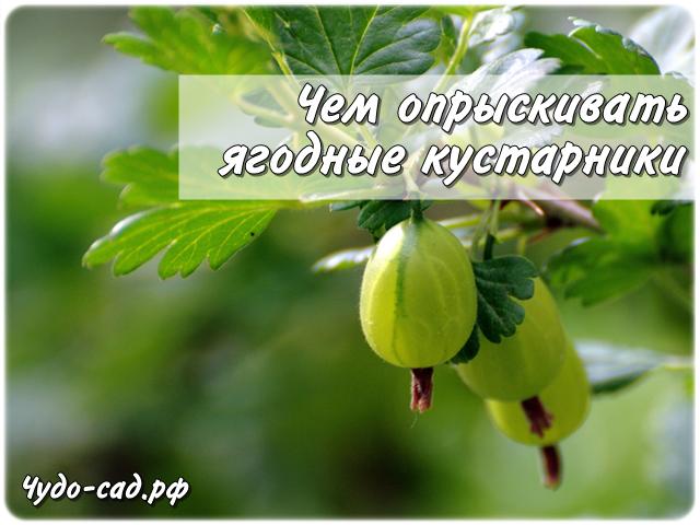 Чем опрыскивать ягодные кустарники