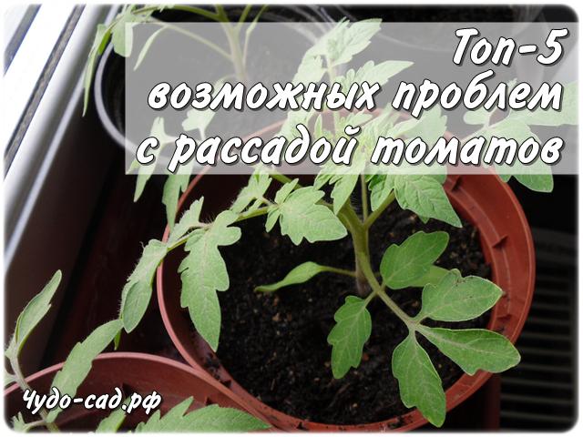 Топ-5 возможных проблем с рассадой томатов