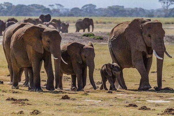 Слоны единственные животные, у которых есть ритуал захоронения